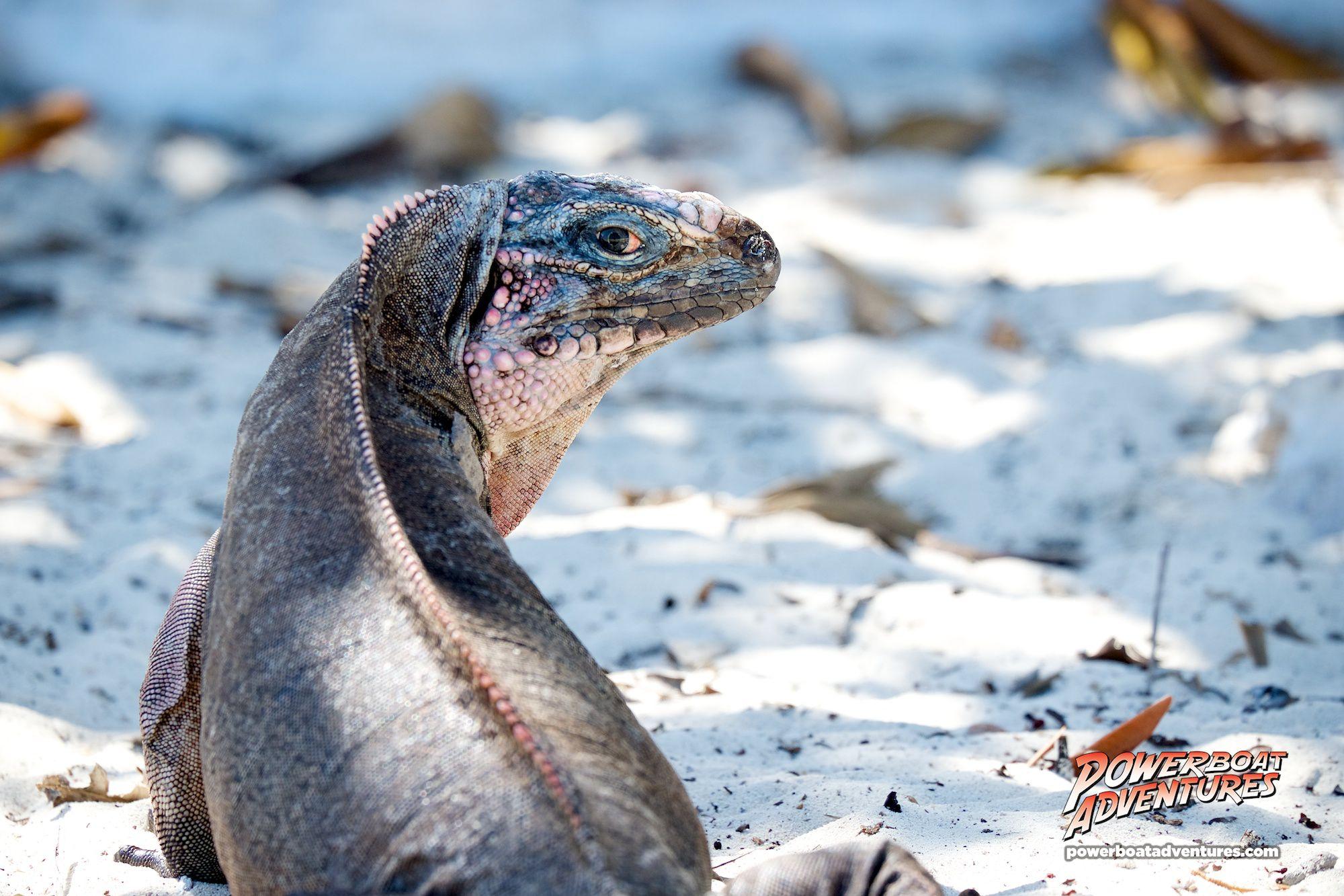 The Endangered Bahamian Rock Iguana's of Allan's Cay